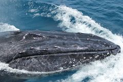Large male humpback fighting. A male humpback shows signs of fighting for females Royalty Free Stock Photo