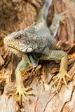 Large Male Iguana Profile In The Wild Stock Image