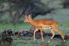 Large Male Impala Walking. A large male Impala, walking across the rocky savanna of Olare Orok Conservancy, bordering Masai Mara, Kenya. His horns are well Royalty Free Stock Image