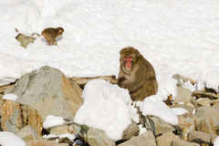 Large Male Japanese Macaque in Snow Stock Photos