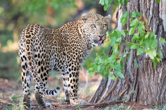 Large male leopard busy marking his territory on tree Royalty Free Stock Photos
