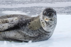 Large male leopard seal sea on an ice floe Stock Images