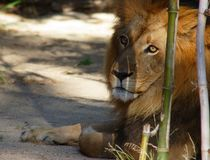 Large male lion Royalty Free Stock Photo