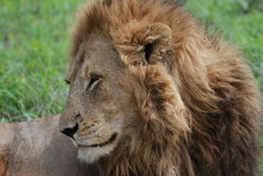 Large male lion Stock Images