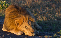Large male lion asleep in the African wilderness. An old male lion lying asleep in golden morning light in the Madikwe Game Reserve, South Africa royalty free stock photos