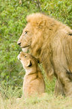 Large male lion with cub. A large male lion on lookout with one of his cubs looking up to him Royalty Free Stock Photos