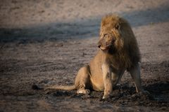 A large male lion with a full belly sitting beside a muddy pool. A horizontal, full length, colour photograph of a bloodied male lion, Panthera leo, sitting Royalty Free Stock Photos