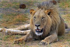 Large male lion laying down on the african pains Royalty Free Stock Photos