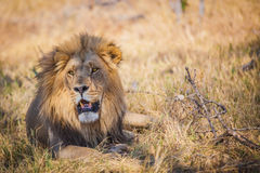 Large male lion lying in grass in Botswana Royalty Free Stock Image