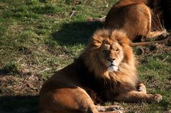 Large male lion lying on the grass. A large male lion lying on the grass with his pride Royalty Free Stock Images
