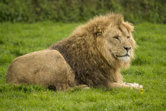 Large male lion Royalty Free Stock Photography