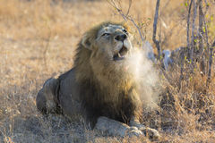 Large male lion roar in the early morning with steam on his mouth royalty free stock photo