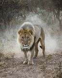Large male lion walks in the desert. In Namibia royalty free stock images