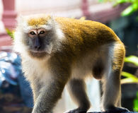 Large male monkeys Stock Image