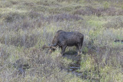 Large male moose feeding and drinking Royalty Free Stock Photography