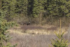 Large male moose feeding and drinking Stock Photos