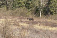 Large male moose feeding and drinking Stock Image