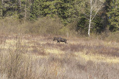Large male moose feeding and drinking Royalty Free Stock Photo