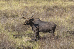 Large male moose feeding and drinking Stock Images