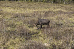 Large male moose feeding and drinking Royalty Free Stock Images