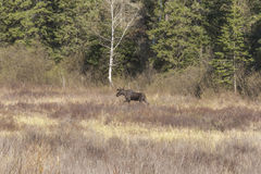 Large male moose feeding and drinking Stock Photography