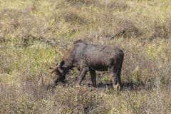 Large male moose feeding in a field Royalty Free Stock Photo