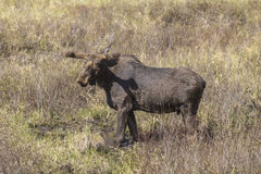 Large male moose feeding in a field. A large male moose feeding and drinking Stock Images