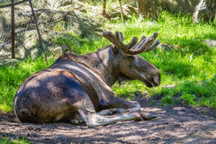 Large male moose relaxing in a zoo. In Sweden stock photos