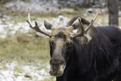 A Large Male moose in the snow Royalty Free Stock Photo