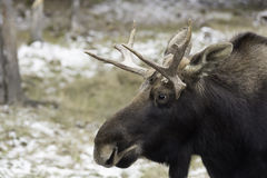 A Large Male moose in the snow stock images