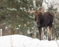 A large male moose in a winter scene. A large male moose in winter Stock Photos
