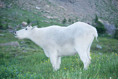 Large Male Mountain Goat Royalty Free Stock Images