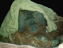 Large male orangutan Royalty Free Stock Images