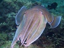 Large male pharaoh cuttlefish Royalty Free Stock Image