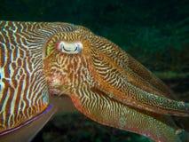 Large male pharaoh cuttlefish Royalty Free Stock Photo