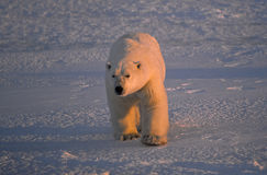 Large male polar bear Stock Photo