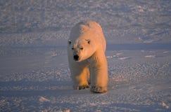 Large male polar bear stock photo