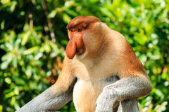 Large male Proboscis Monkey Stock Photography