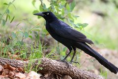 A large male raven or blackbird on a tree limb near the ground. A large male black bird or raven on a tree limb near the ground in a park in the spring Stock Image