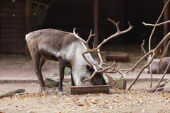 Large male reindeer Stock Photo