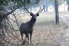 Large male sambar deer who stands under the shadow of a tree nea. R the road Stock Photography