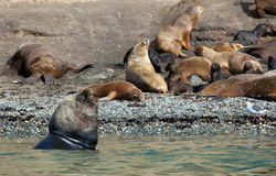 Large male sea lion. With several females Royalty Free Stock Image