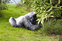 Large male silver back gorilla. Searching the undergrowth Royalty Free Stock Photo