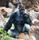 A large male silver of back gorilla sitting. A large male of silver back gorilla sitting and looking his territory Stock Photo