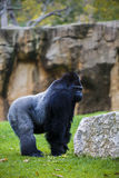 A large male silver back western lowland gorilla standing in a p. Owerful position surveying his territory Stock Photography