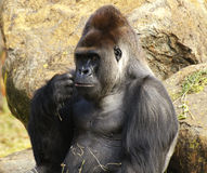 Large male silverback gorilla. A imposing gorilla male sitting next to a rocky hill. Looks as if in deep thought, or planning his escape from the Zoo Royalty Free Stock Photography