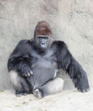 Silverback Gorilla Royalty Free Stock Photos