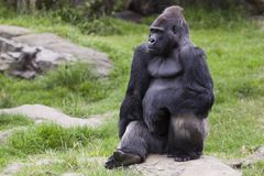 A Single Male, Silverback Gorilla. A large, male Silverback Gorilla sitting on a rock Stock Images