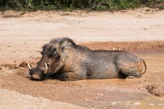 Large male warthog laying in a mud pool stock images