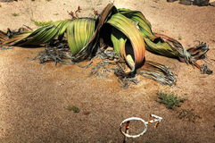 Large Male Welwitschia plant in Namibian desert Royalty Free Stock Photos
